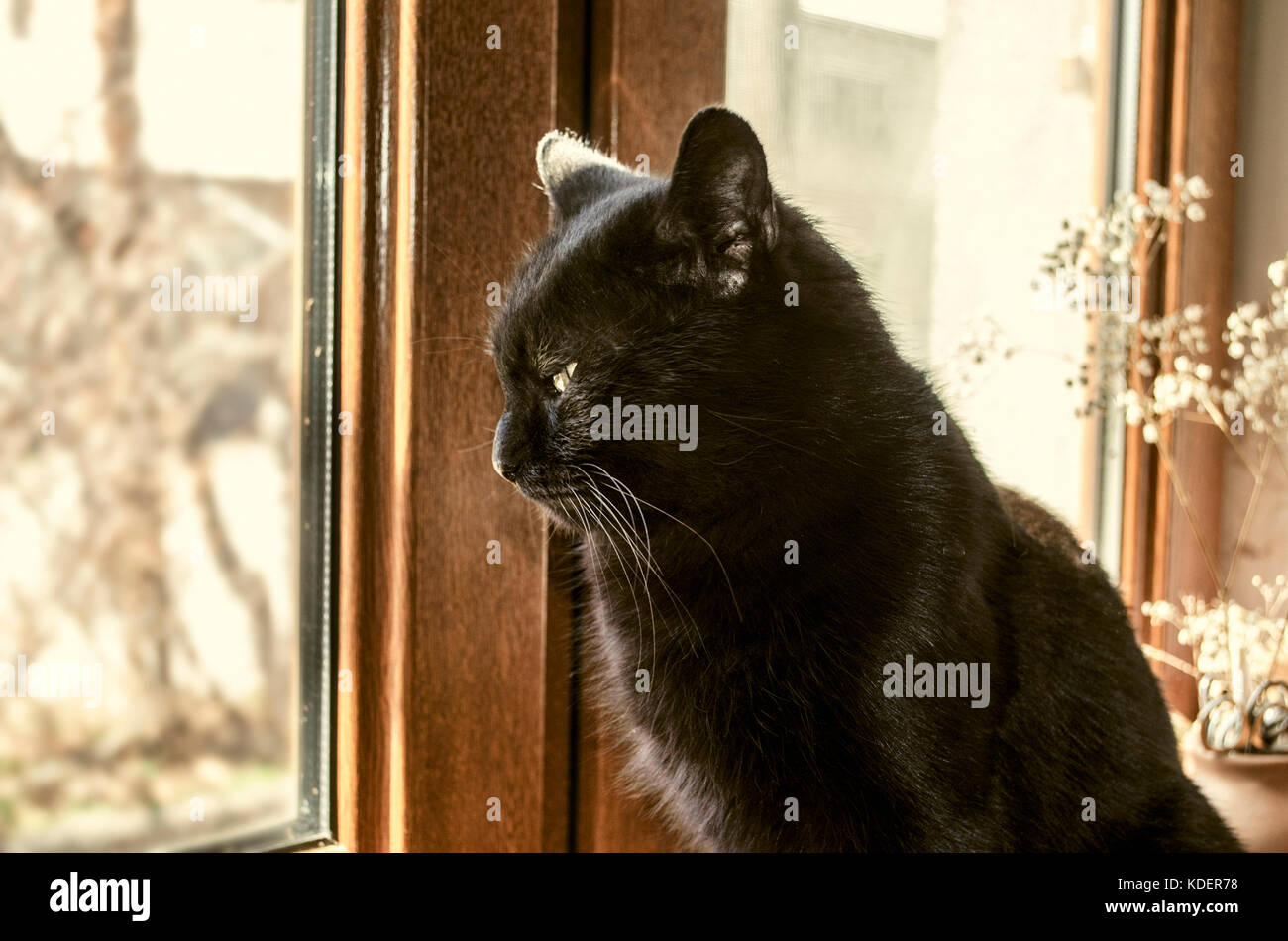 Home black cat sits on the windowsill and begging on the street Stock Photo