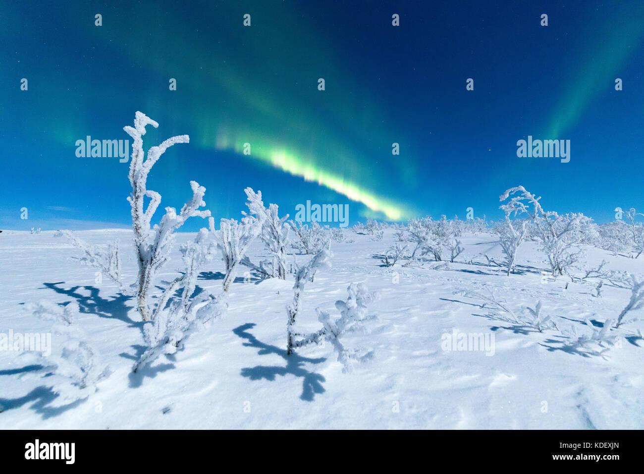 Northern Lights on frozen trees, Abisko,  Kiruna Municipality, Norrbotten County, Lapland, Sweden - Stock Image