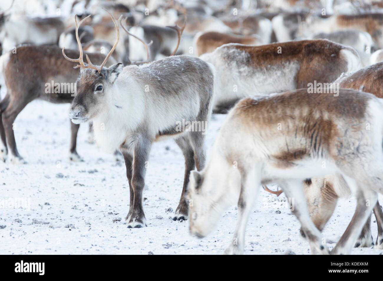 Isolated reindeer of a flock, Abisko, Kiruna Municipality, Norrbotten County, Lapland, Sweden Stock Photo