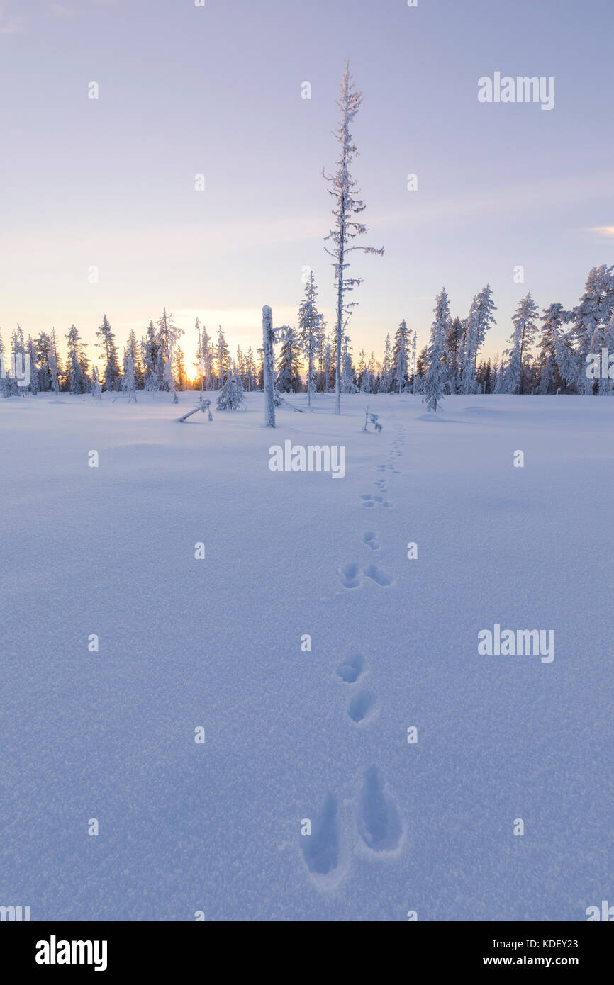 Sunset in the boreal forest (Taiga) covered with snow, Kiruna, Norrbotten County, Lapland, Sweden - Stock Image