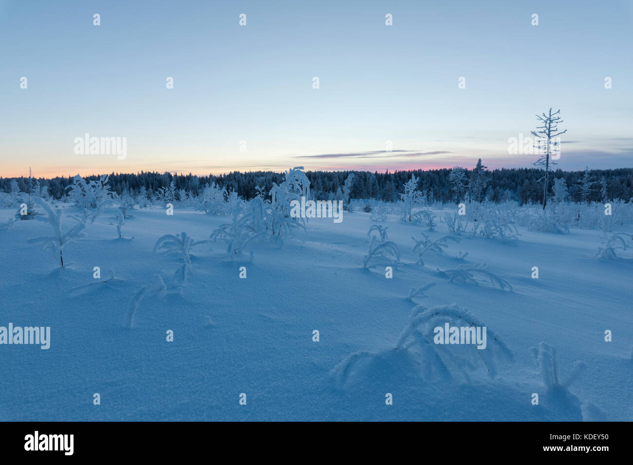 Dusk on trees covered with ice in the boreal forest (Taiga), Kiruna, Norrbotten County, Lapland, Sweden - Stock Image