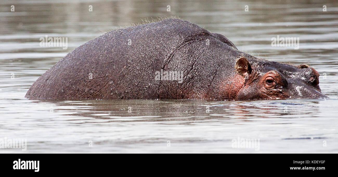 Hippopotamus (Hippopotamus amphibius) partly submerged in water at Lake Naivasha, Kenya - Stock Image