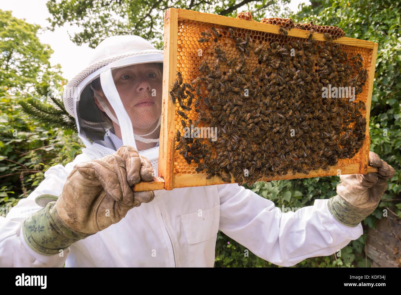 tending a honey bee colony - Stock Image