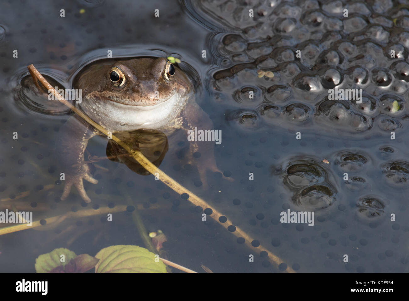 common frog in garden pond with spawn - Stock Image