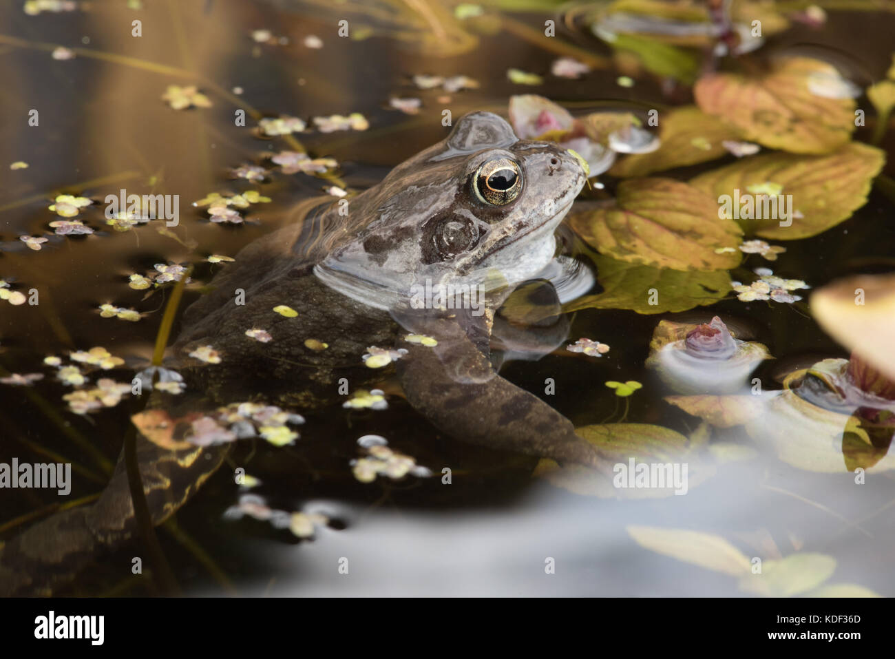 common frog in garden pond Stock Photo