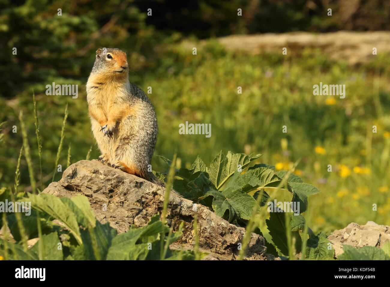 A Columbian Ground Squirrel pausing atop a rock in Glacier National Park. - Stock Image