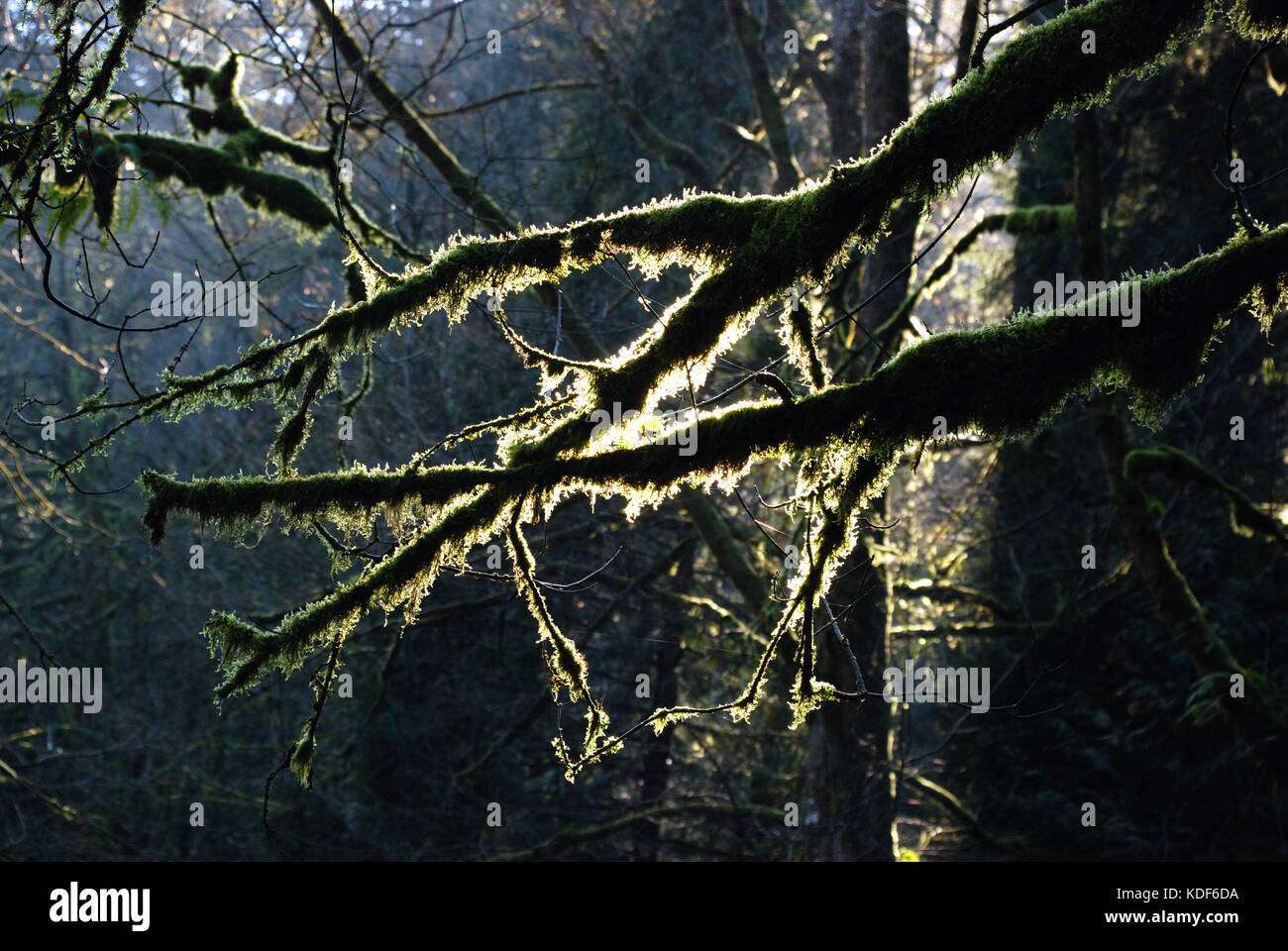Sunlight filters through moss at Goldstream Park, near Victoria BC in Canada - Stock Image