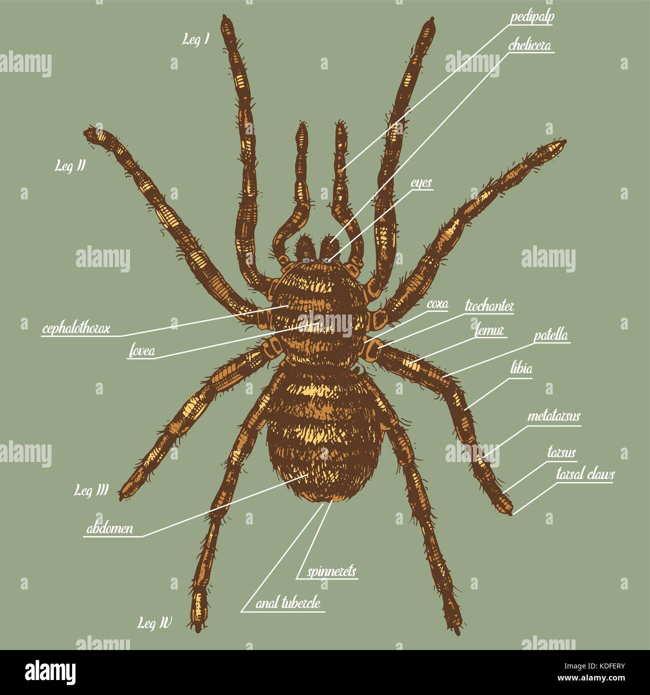 Illustration Of A Spider Anatomy Include All Name Of Animal Parts