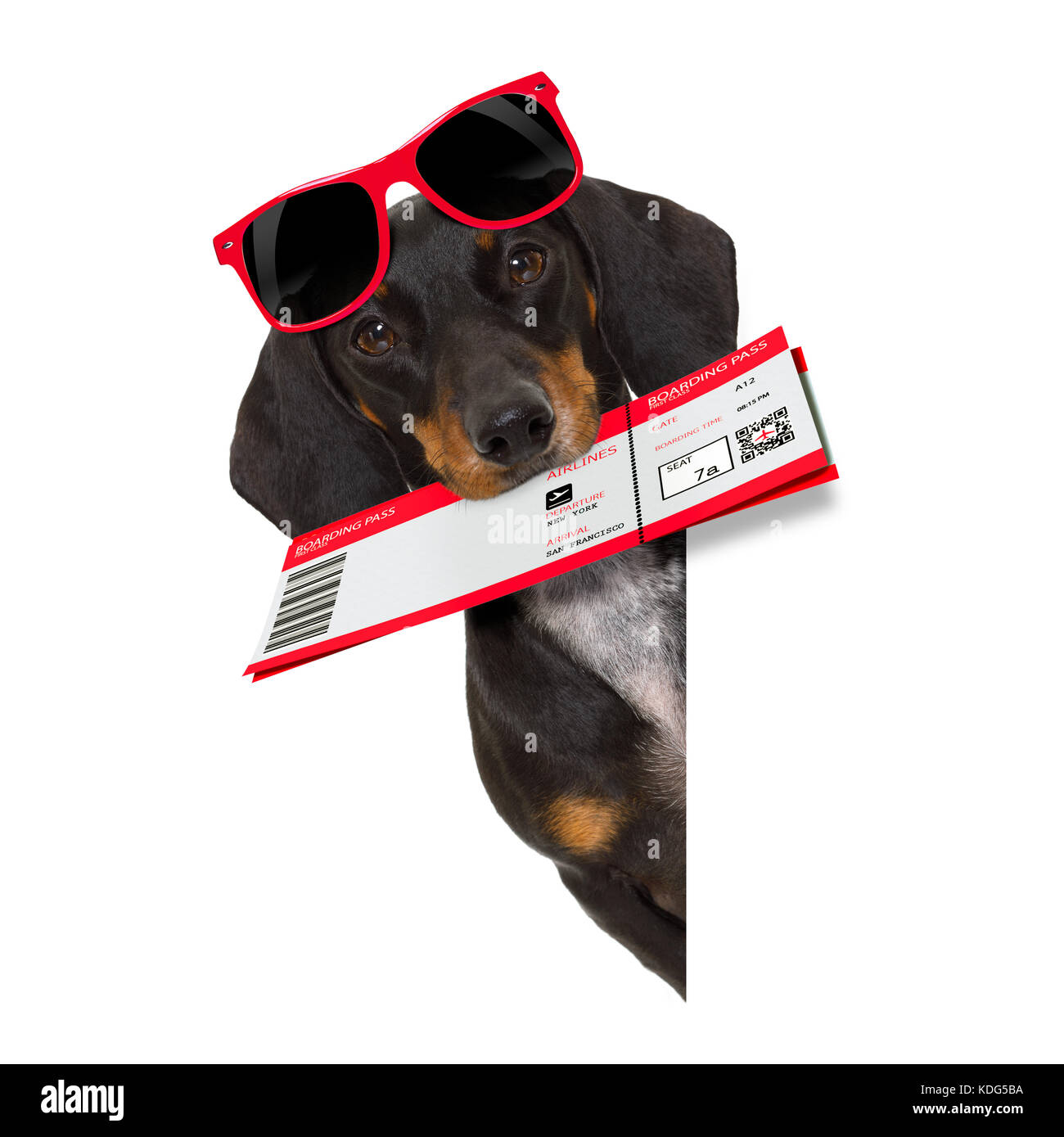 dachshund or sausage  dog on summer vacation holidays with airline flight ticket  isolated on white background - Stock Image