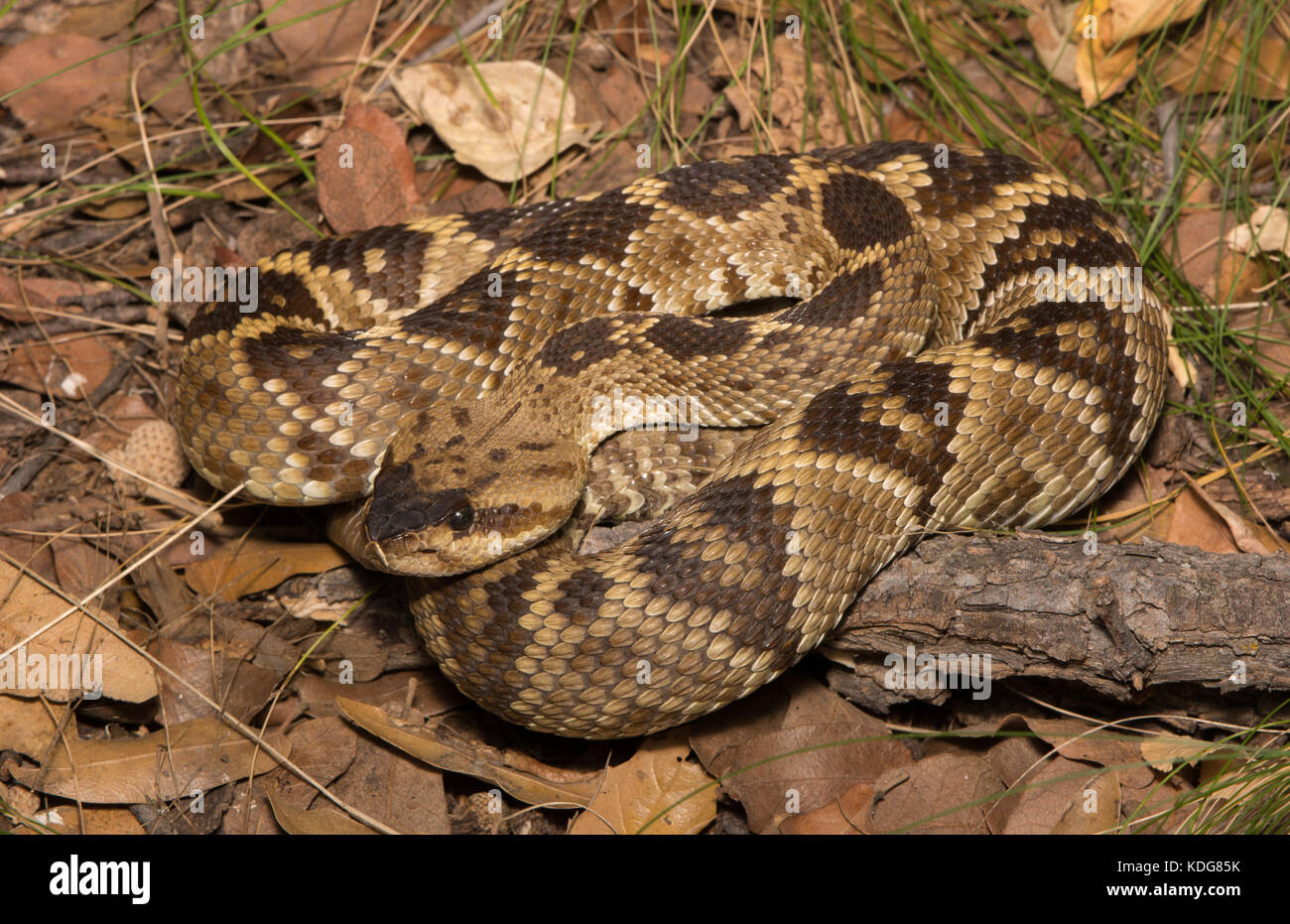 Western Black-tailed Rattlesnake (Crotalus molossus) from Cochise County, Arizona, USA. Stock Photo