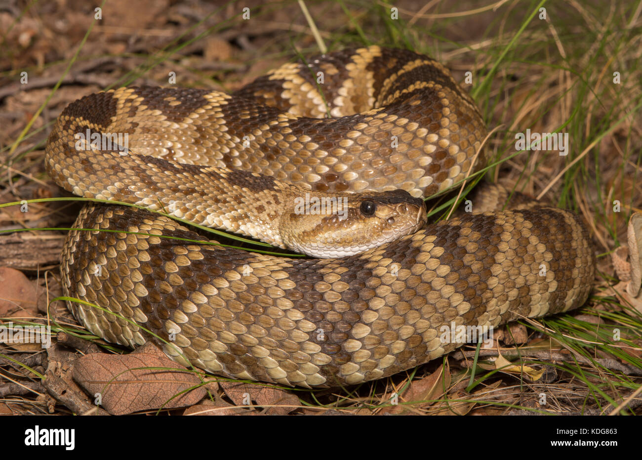 Western Black-tailed Rattlesnake (Crotalus molossus) from Cochise County, Arizona, USA. Stock Photo