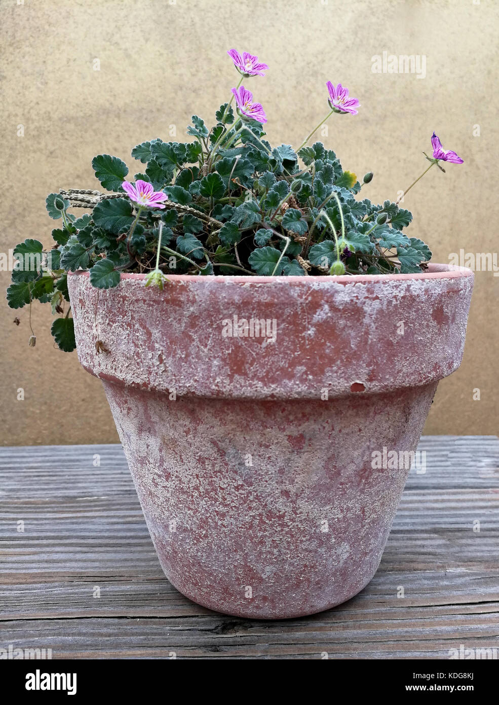 Old Clay Pot With Small Pink Flowers Stock Photo 163241894 Alamy