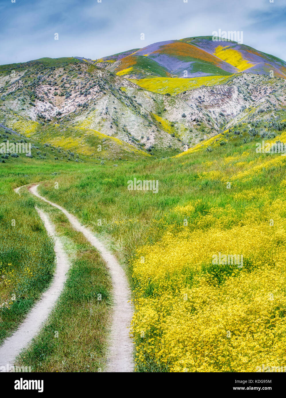 Field of Hillside Daisies (Monolopia lanceolata) and dirt road Carrizo Plain National Monument, California - Stock Image