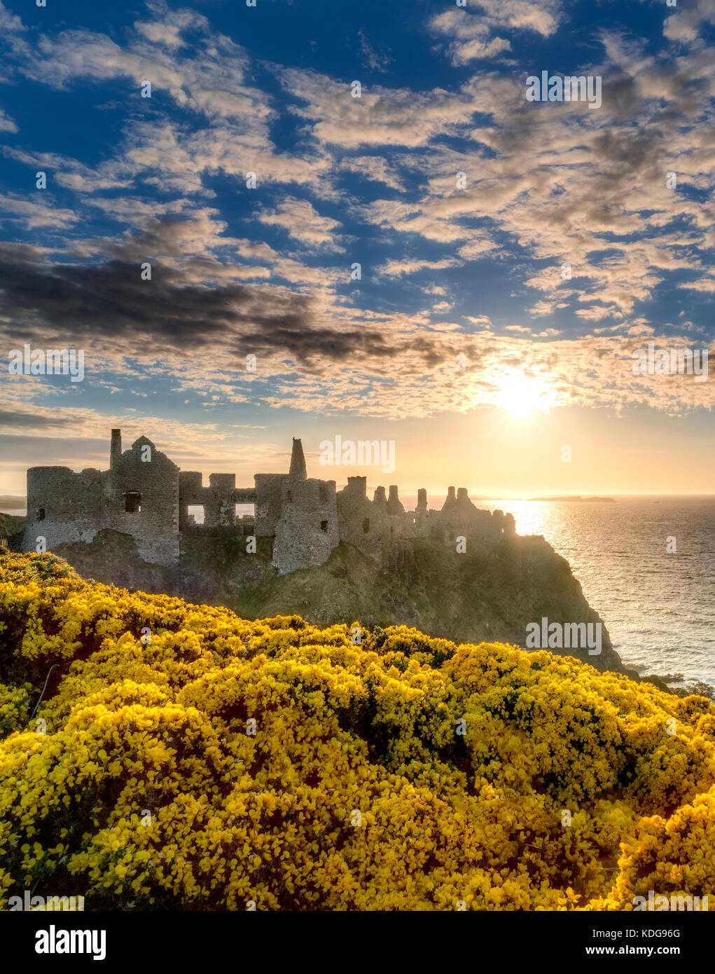 Dunluce Castle,at sunset with blooming gorse. Northern Ireland. - Stock Image