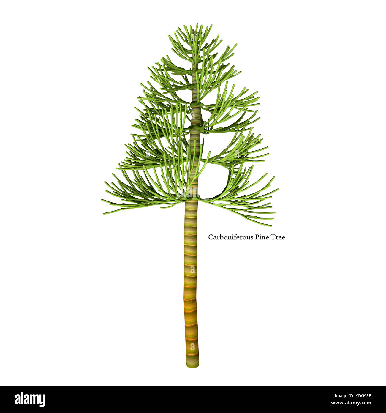 The earliest conifers date to the Carboniferous Period possibly arising from the Cordaites, a genus of seed-bearing - Stock Image