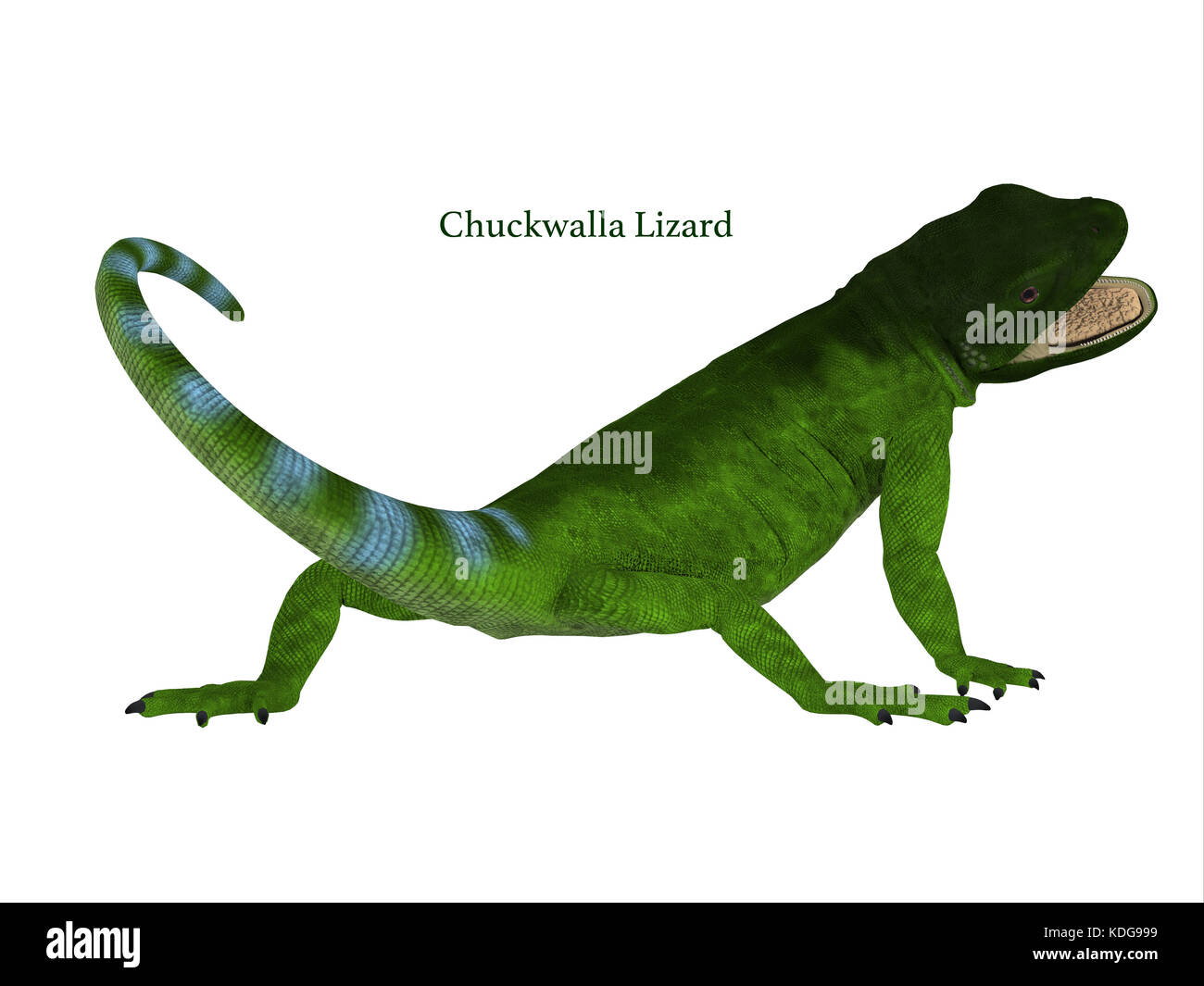 The Chuckwalla is a large lizard found primarily in arid regions of the southern United States and northern Mexico. Stock Photo