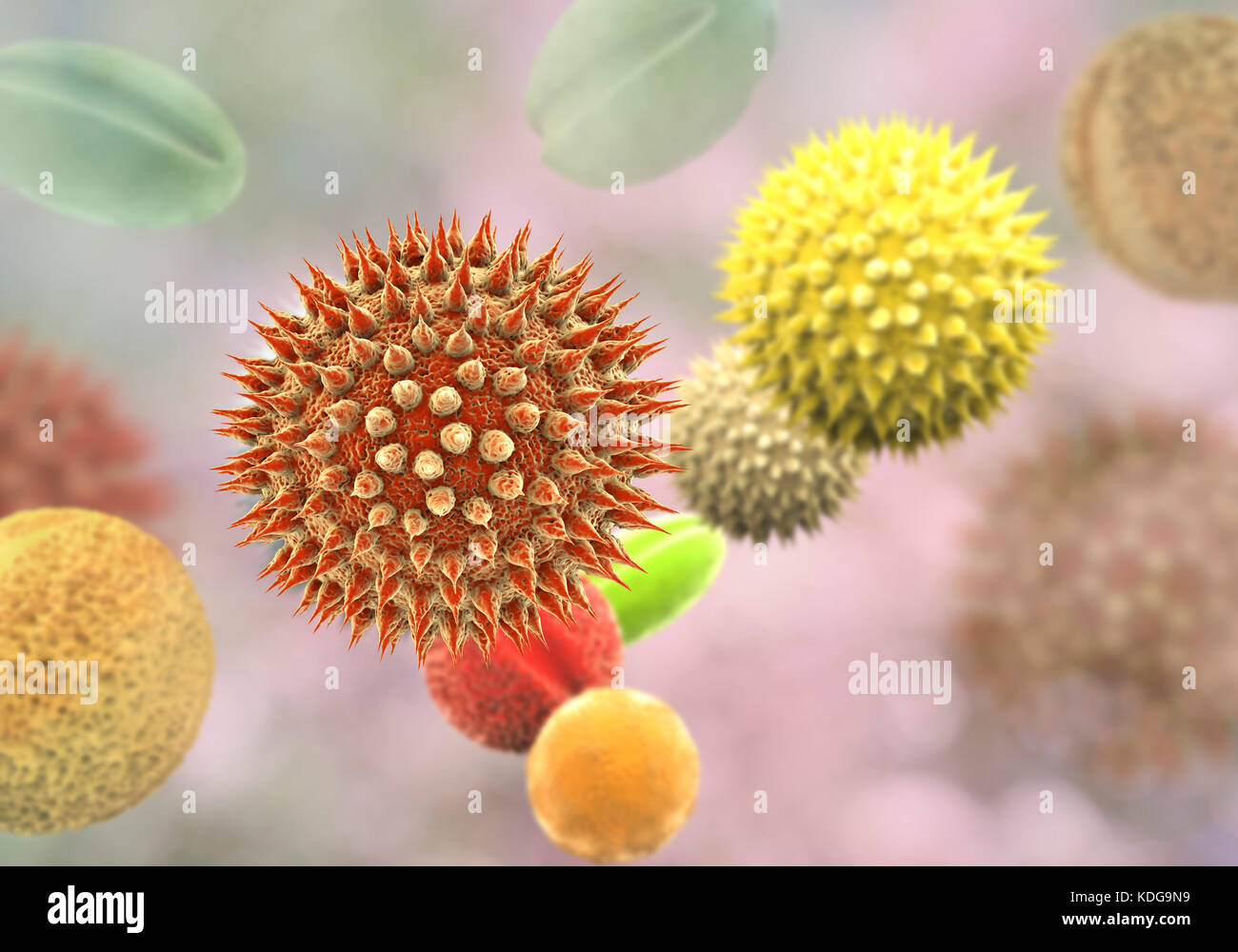 Pollen grains from different plants, computer illustration. Pollen grain size, shape and surface texture differ from one plant species to another, as seen here. The outer wall (exine) of the pollen in many plant species is highly sculpted which may assist in wind, water or insect dispersal. This pollen sculpting is also used by botanists to recognise plant species. Pores in the pollen wall help in water regulation and germination. These reproductive male spores produced by seed plants contain the male gametes. Pollen fertilises the female egg, with subsequent formation of plant seeds. Stock Photo