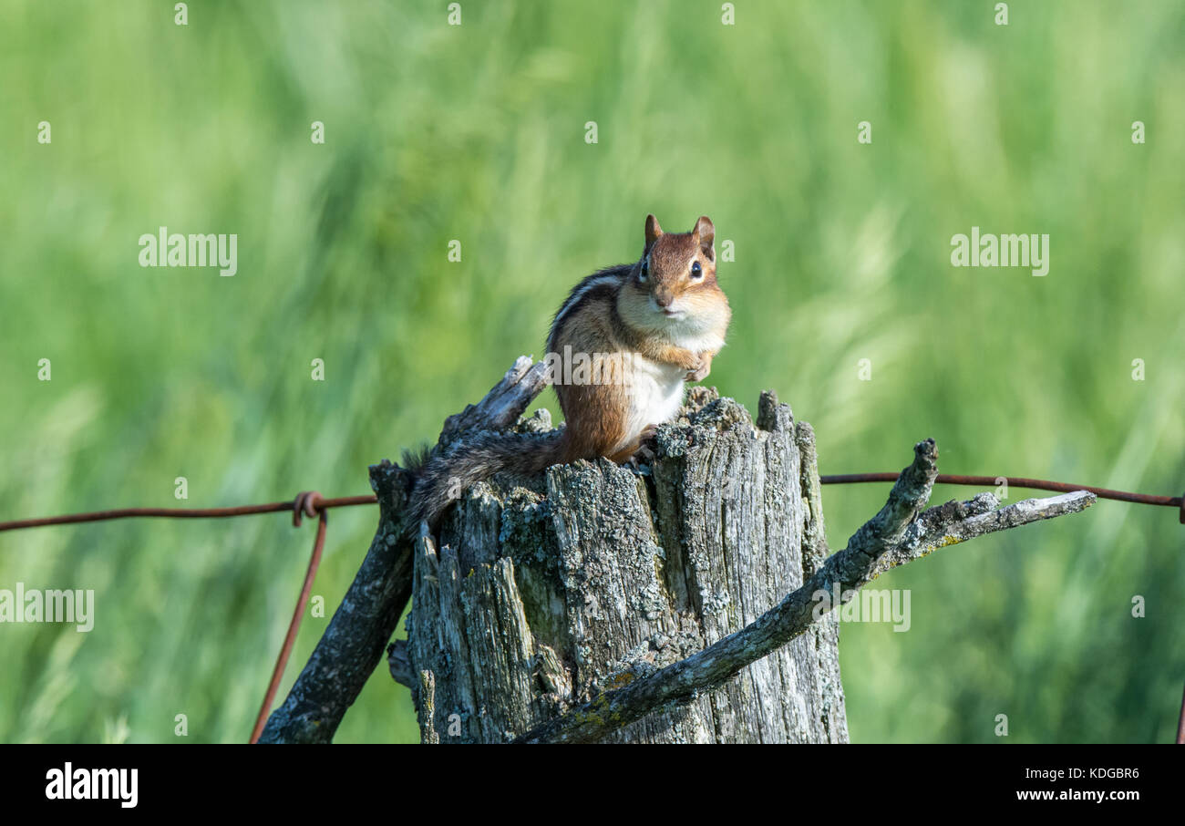 scared chipmunk on a fence post - Stock Image