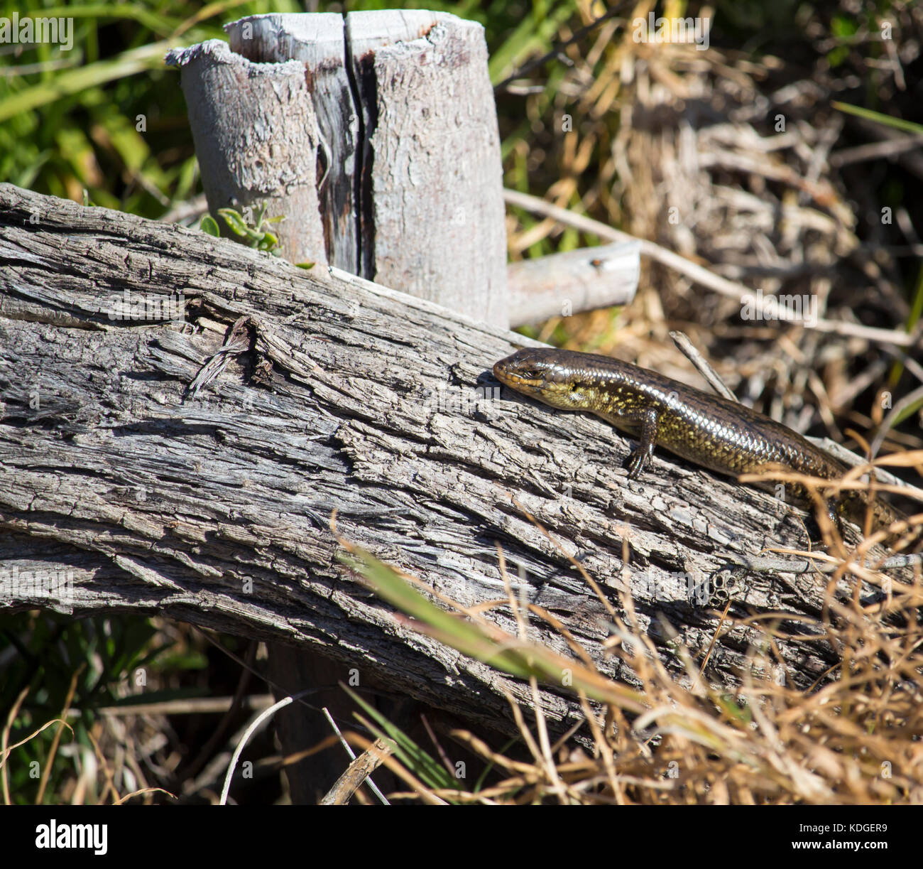 Western Glossy Swamp Skink (Lissolepis luctuosa) , genus Lissolepis sun baking on an old log  in winter at Big Swamp, Stock Photo