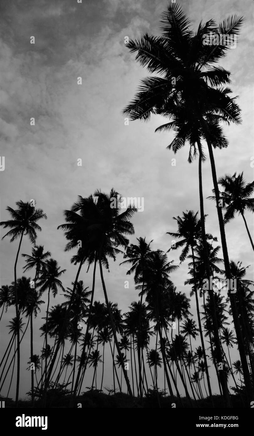 Black and white silhouette of tall palm trees with a dramatic moody sky taken in galle