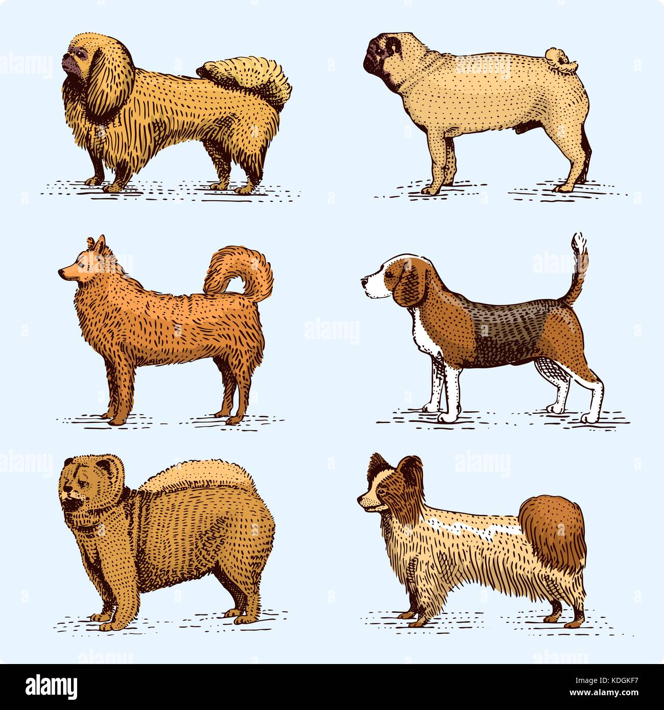 dog breeds engraved, hand drawn vector illustration in woodcut scratchboard style, vintage drawing species. pug - Stock Image
