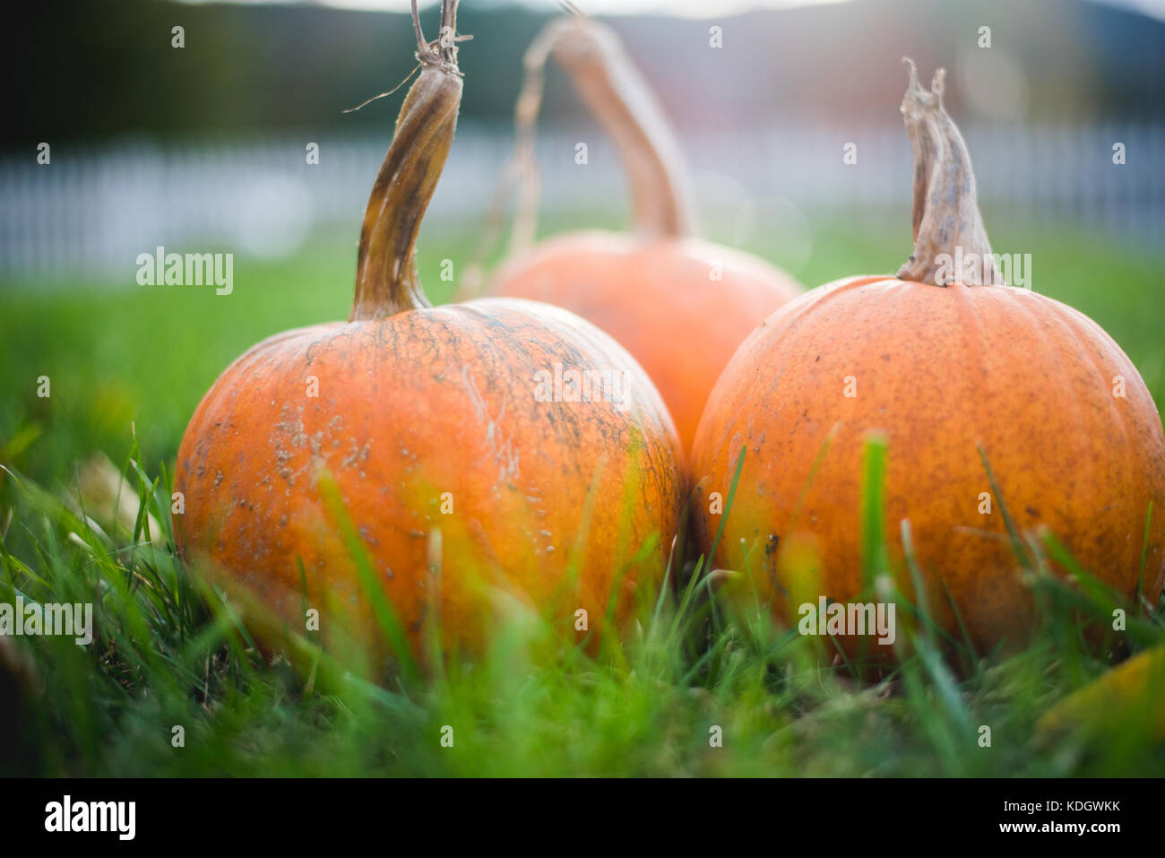 pumpkins sitting in the grass - Stock Image