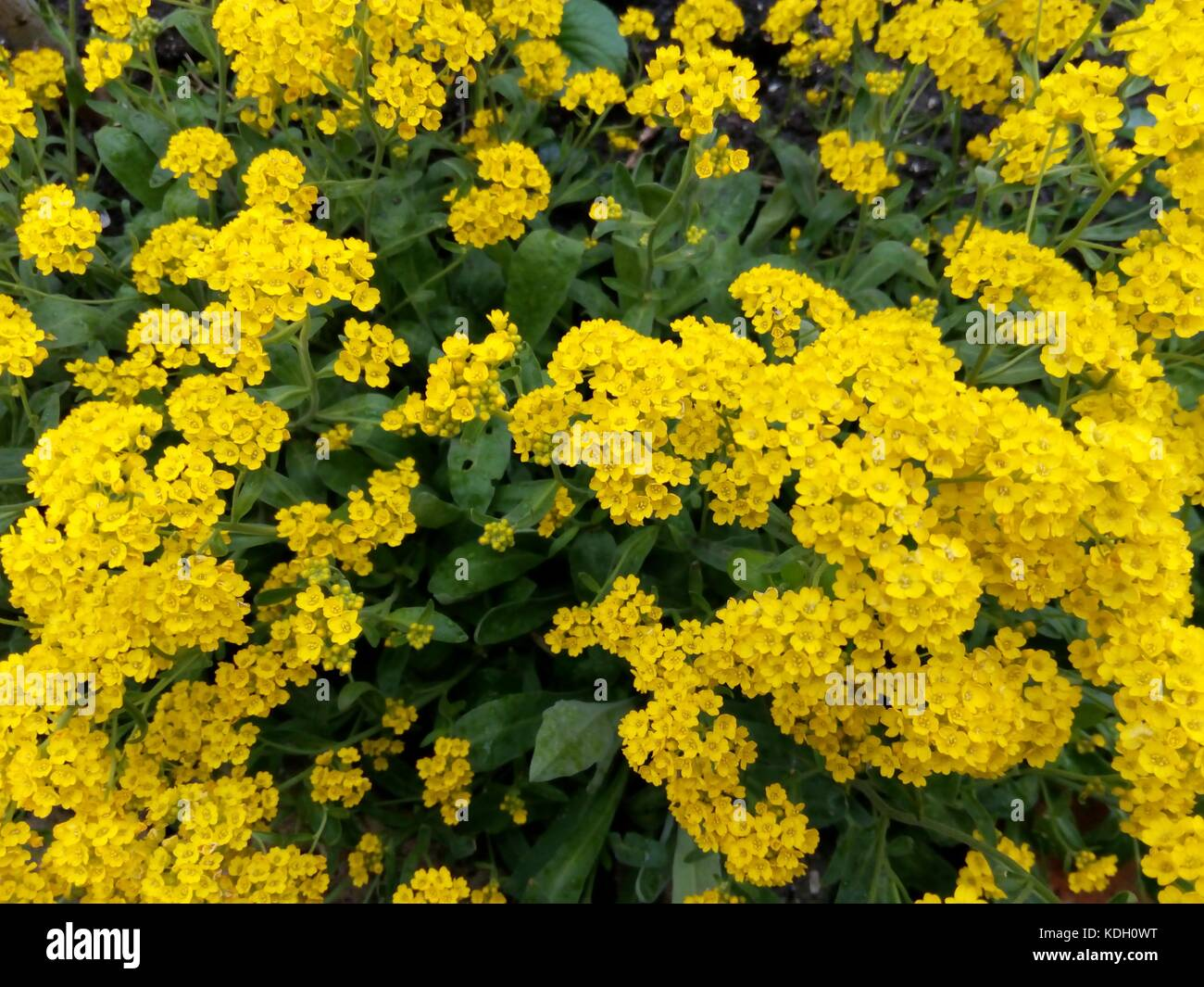 Spring Bush Studded With Small Yellow Flowers Among Green Leaves