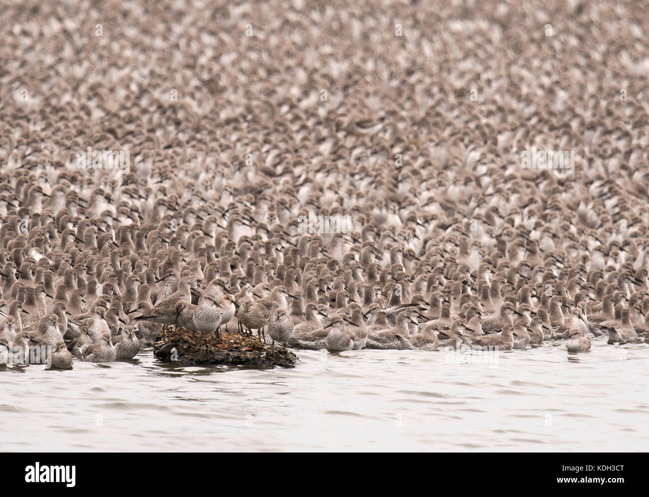 A huge flock of Knot roost on a gravel pit Island at Snettisham waiting for the tide to fall so they can return - Stock Image