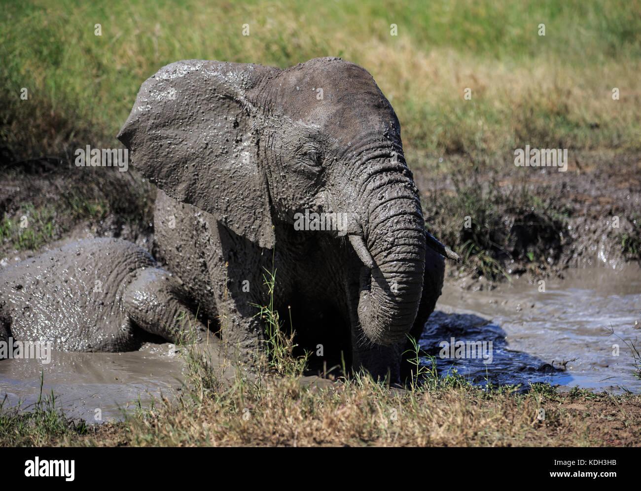 An African Elephant having a mud bath - Stock Image