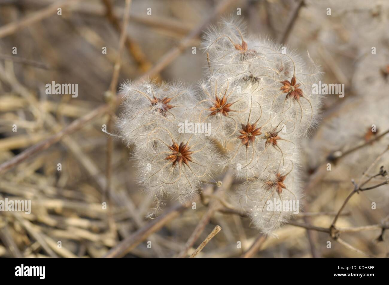Old Man's Beard - Traveler's Joy (Clematis vitalba) flower in seeds in winter - Stock Image