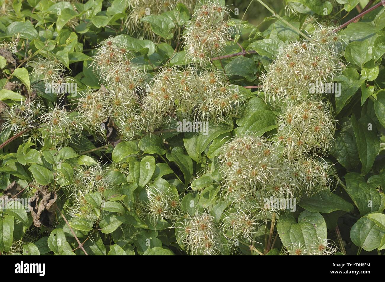 Old Man's Beard - Traveler's Joy (Clematis vitalba) flowers becoming fruits at the end of the summer - Stock Image