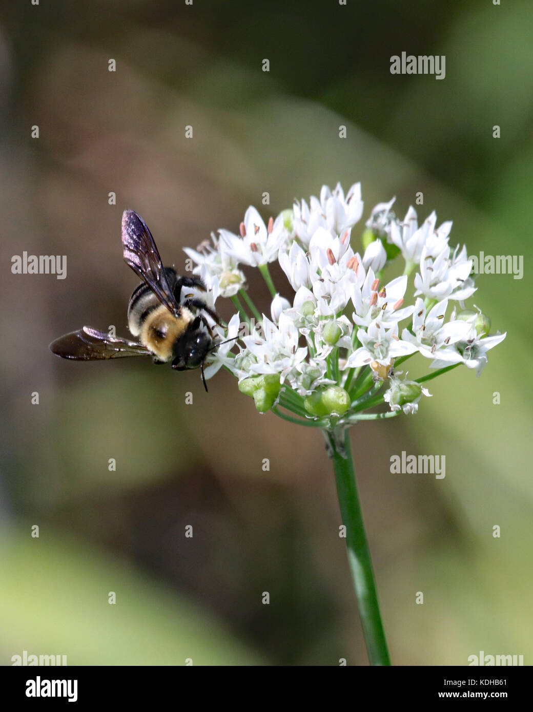 Bumble bees love the pretty white flower clusters that grow on the garlic plants - Stock Image