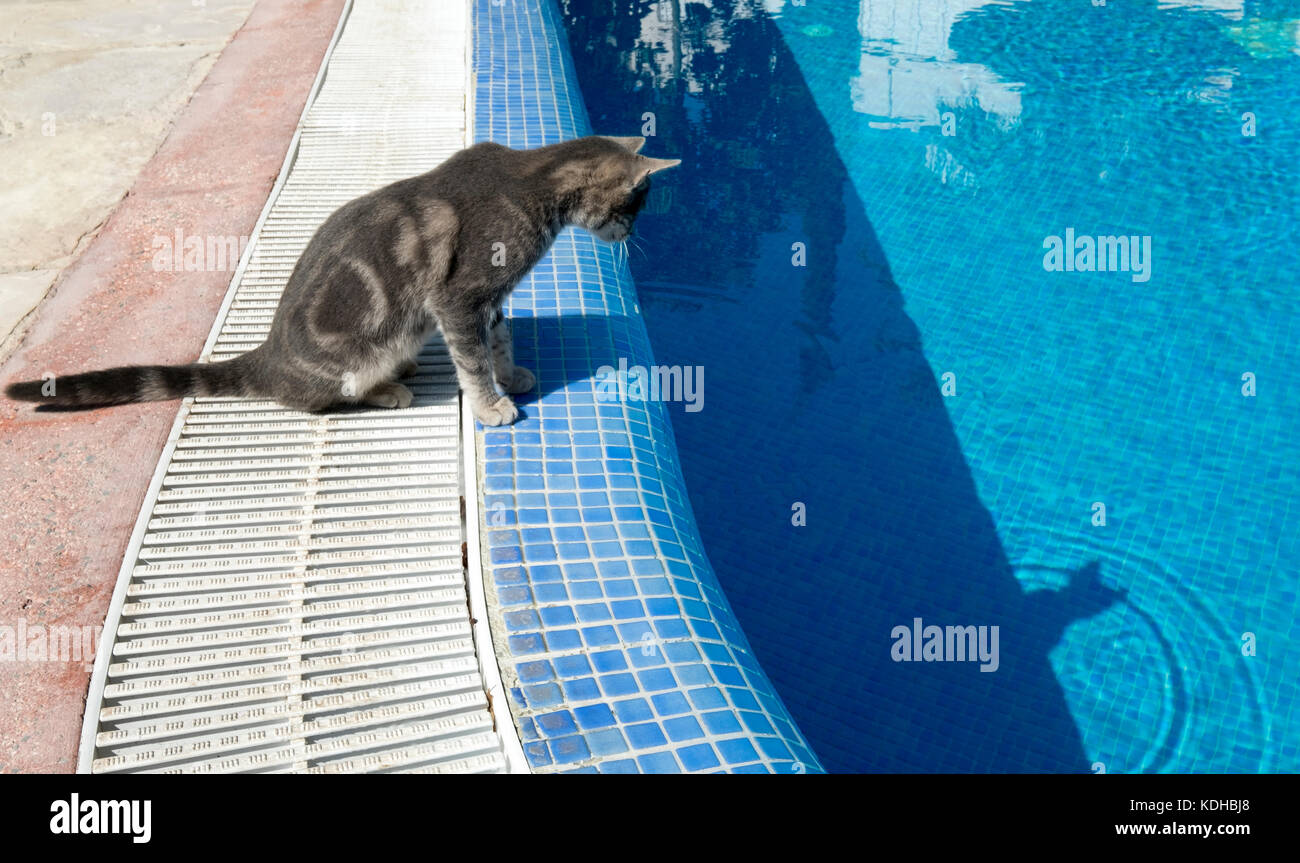 A stray cat looks at its reflection in a swimming pool in Paphos, Cyprus. - Stock Image