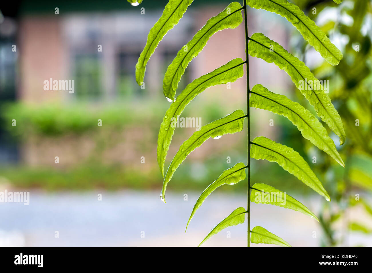 Closeup of wet green fern leaves, droplets on the leaves, black branches, blur background, copy spaces on the left. - Stock Image