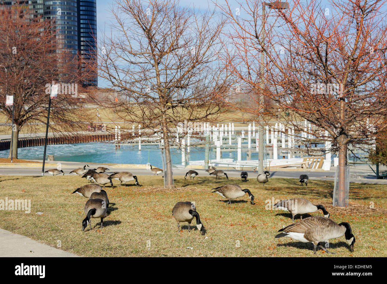 Many Canada geese with Chicago at Millennium Park, Chicago, Illinois, United States - Stock Image