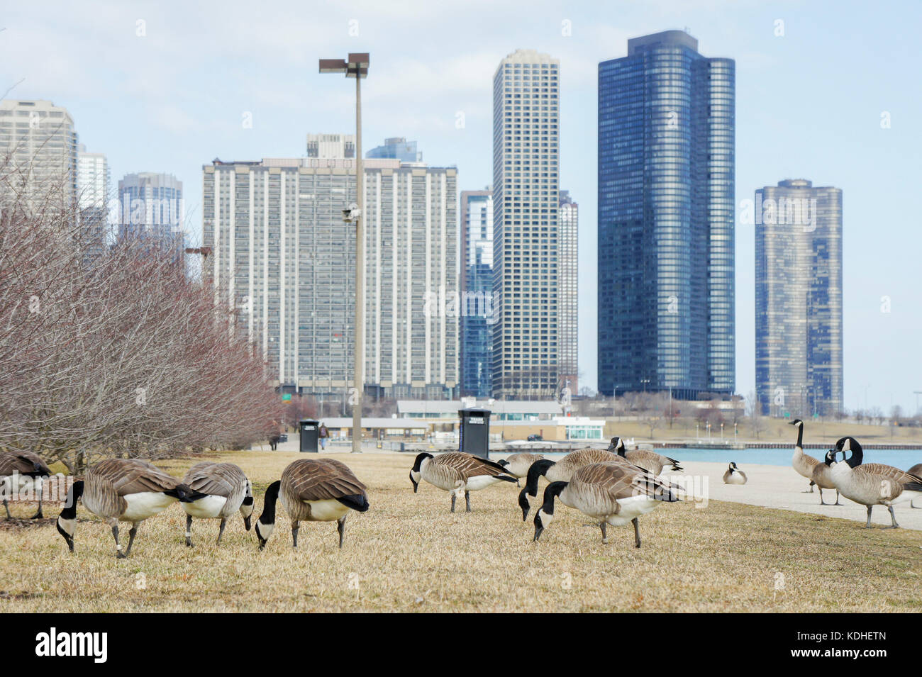 Many Canada geese with Chicago skyline at Millennium Park, Chicago, Illinois, United States - Stock Image