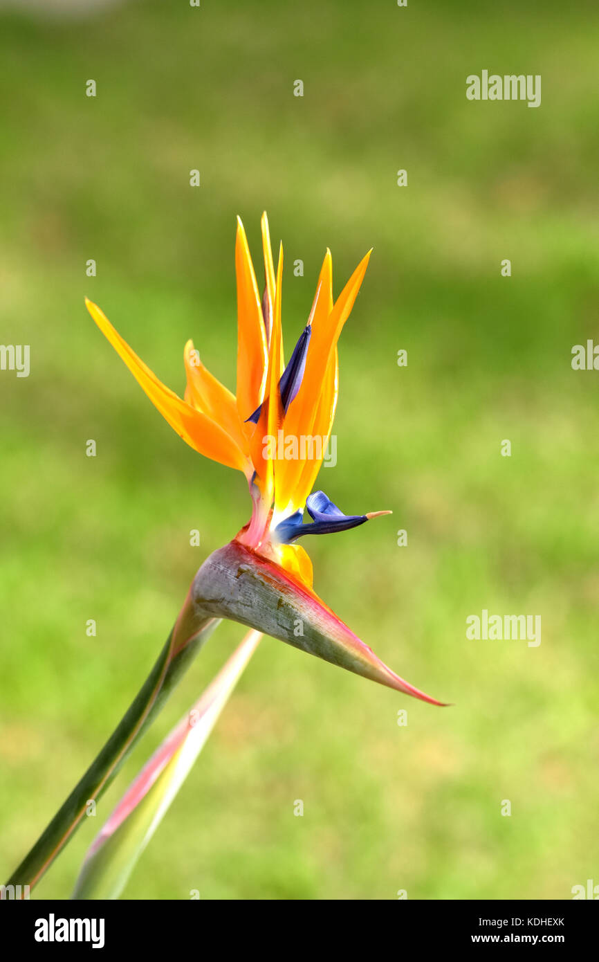 a beautiful bird of paradise flower growing in a colourful