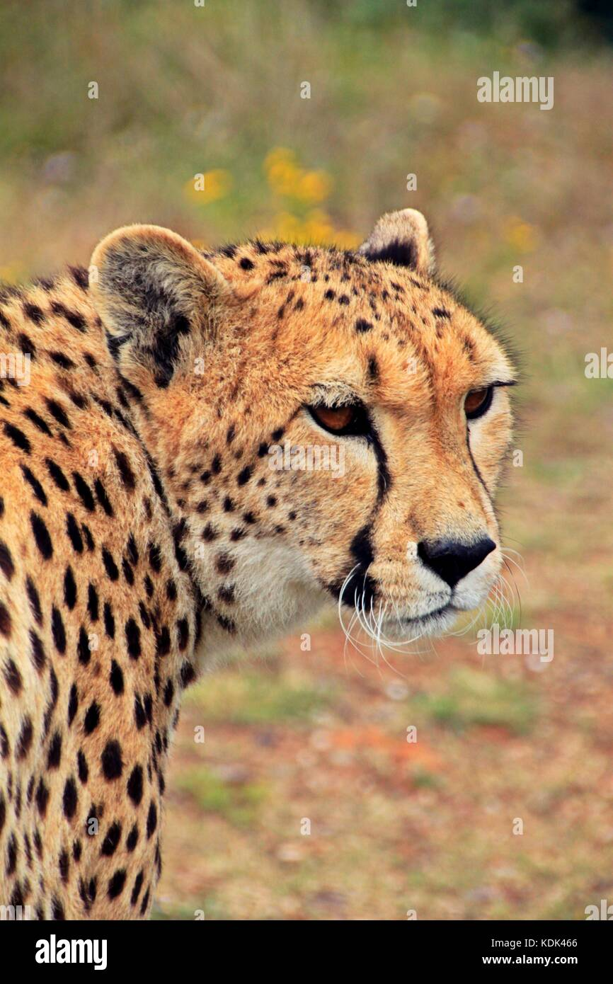Cheetah - Stock Image