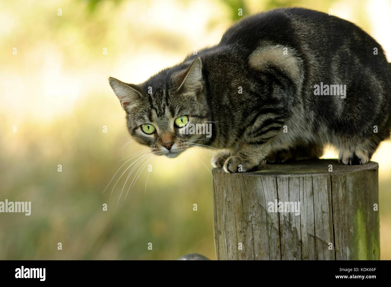 Close up of an isolated female tabby cat outside sitting on a wooden post in sunlight - Stock Image