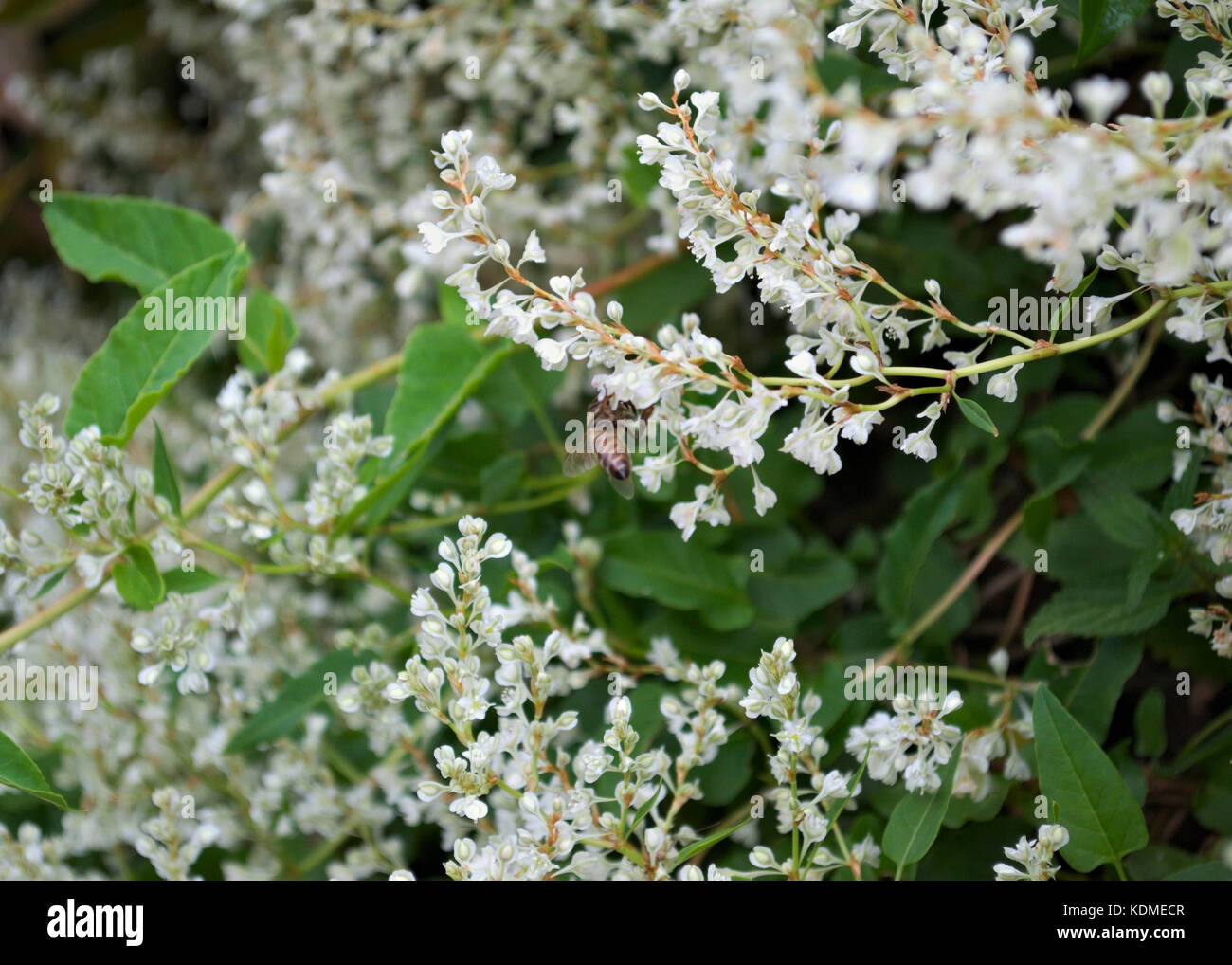 Pianta Rampicante Con Fiori Bianchi.Bee Working On Climbing Plant White Flowers Stock Photo 163334215