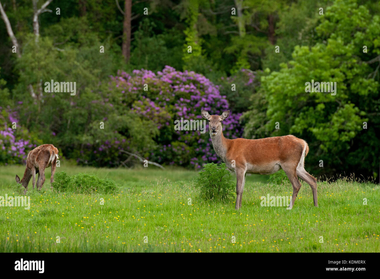 Red deer (Cervus elaphus), Killarney National Park, County Kerry, Ireland - Stock Image