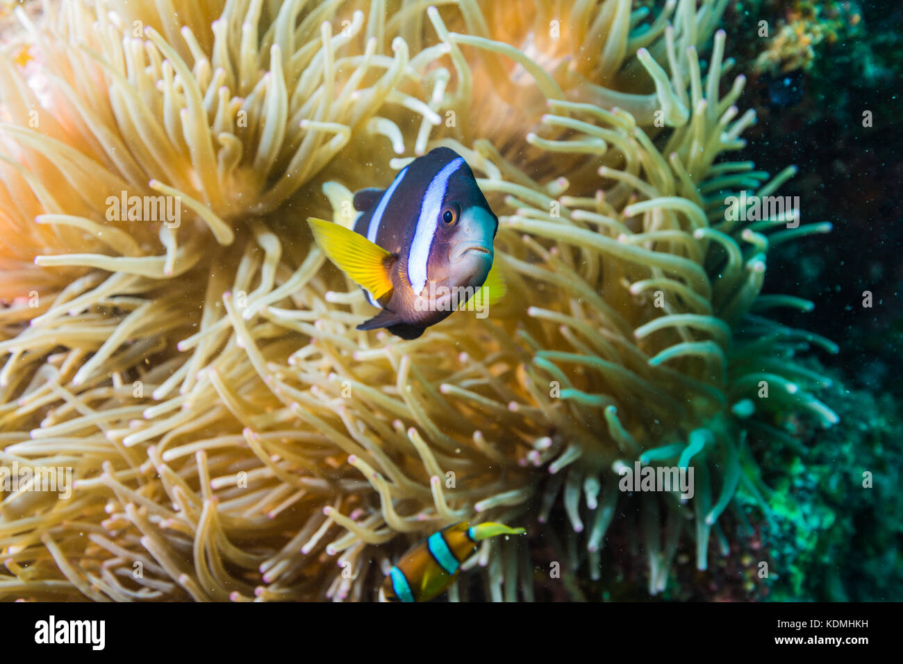 Yellowtail clownfish, Amphiprion clarkii (Bennett, 1830) and big sea anemone Exocoelactis actinostoloides(Wassilieff, - Stock Image