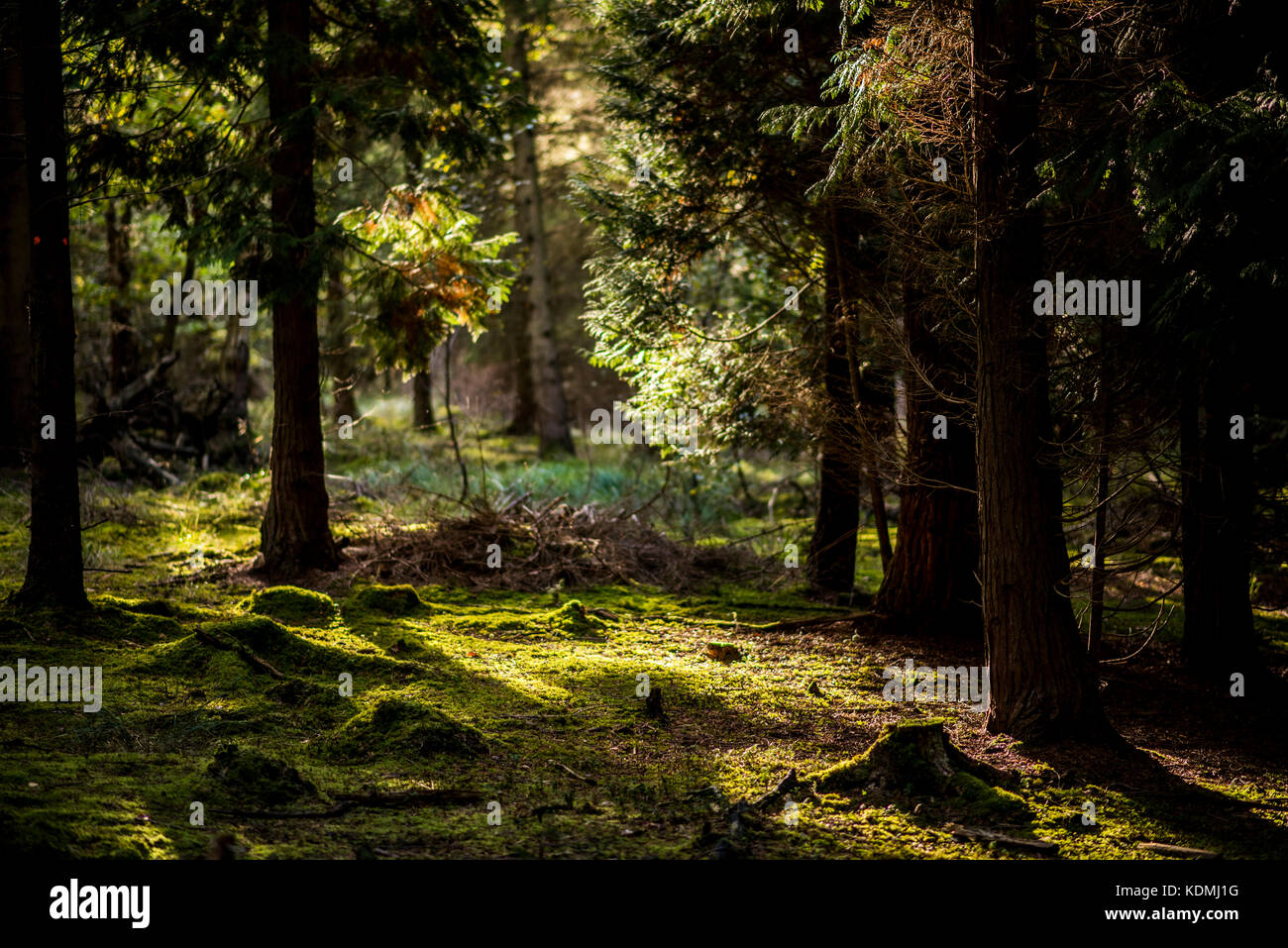 Sunset through Woodland Landscape with moss covered floor, UK Stock Photo