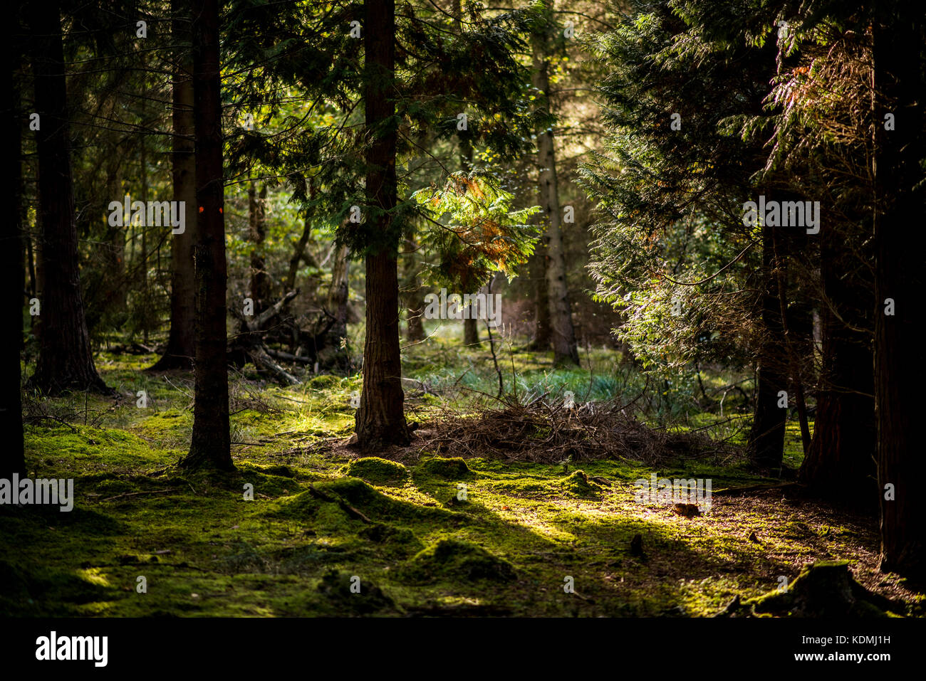 Sunset through Woodland Landscape with moss covered floor, UK - Stock Image