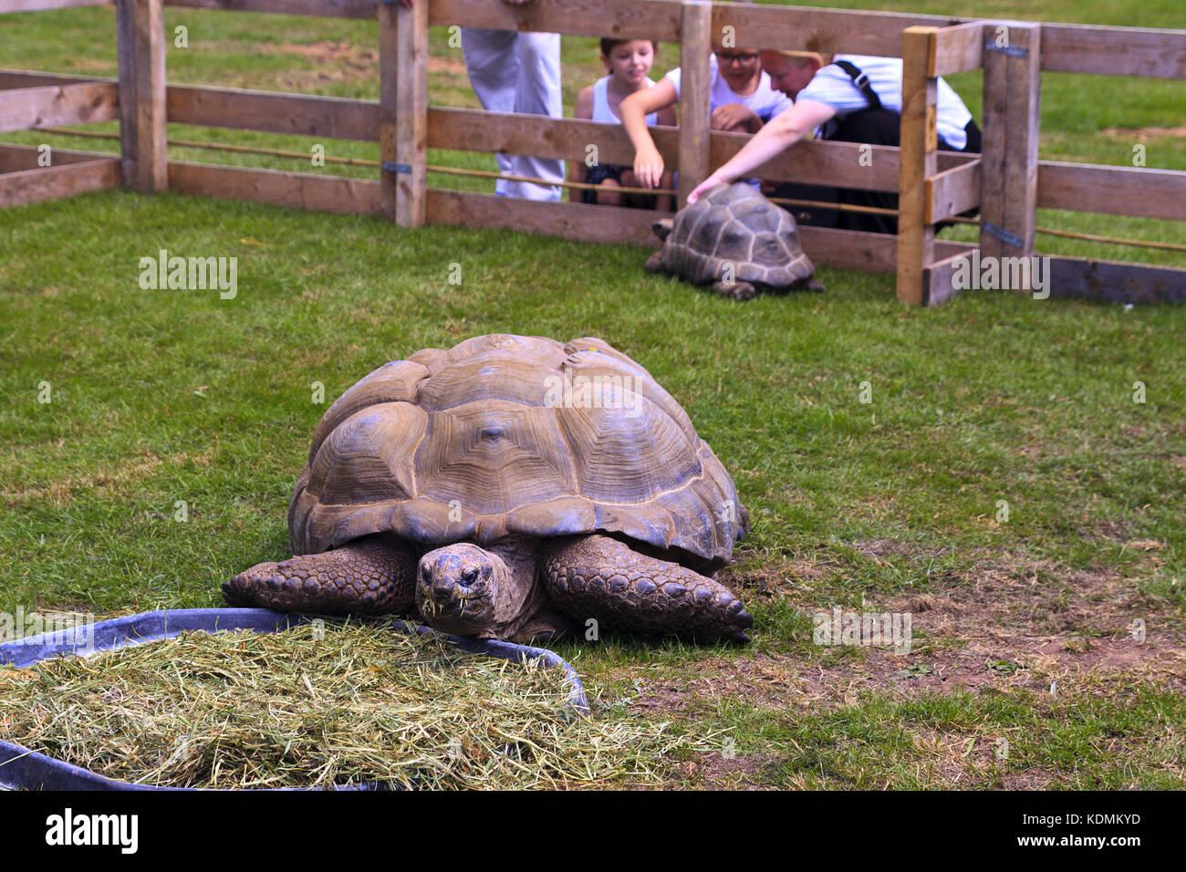 Aldabra Giant Tortoise eating grass - Stock Image