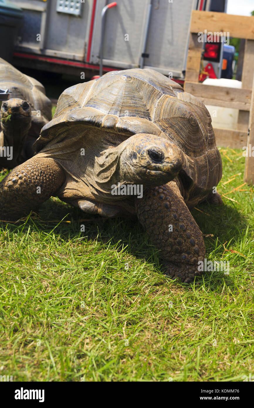 Aldabra Giant Tortoises - Stock Image