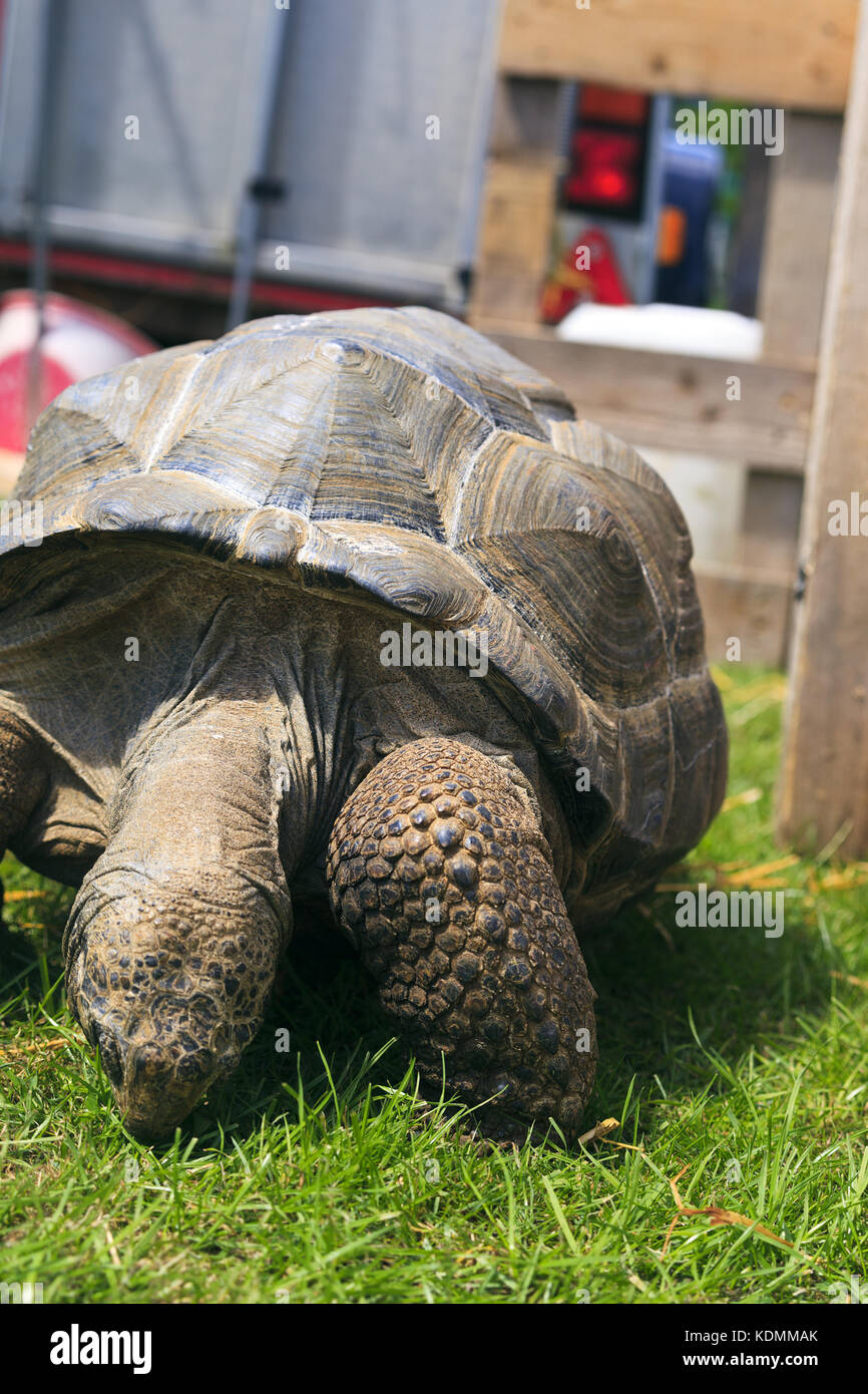 Aldabra Giant Tortoise eating grass Stock Photo