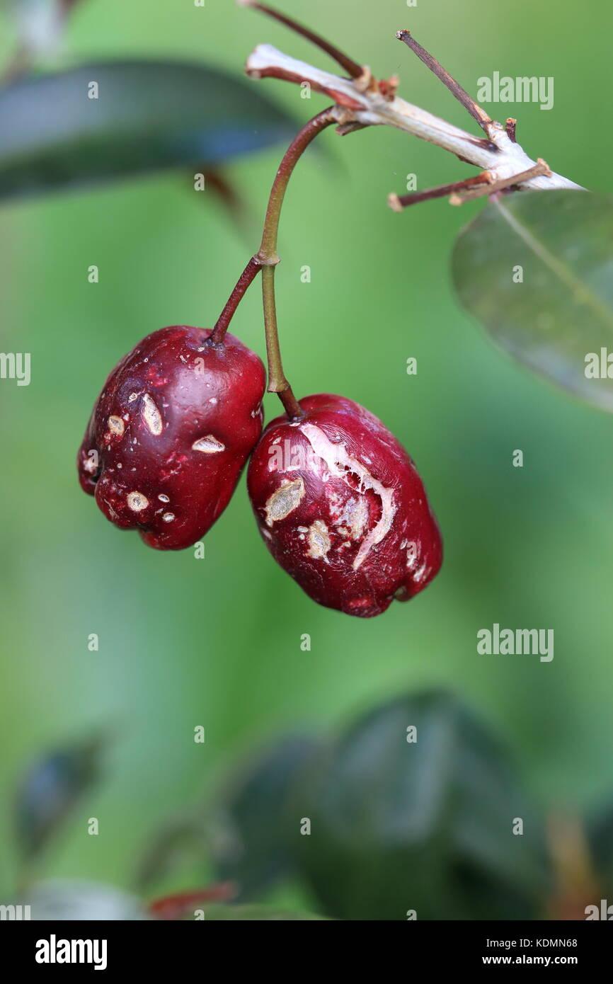 Australian Indigenous Fruit Stock Photos & Australian