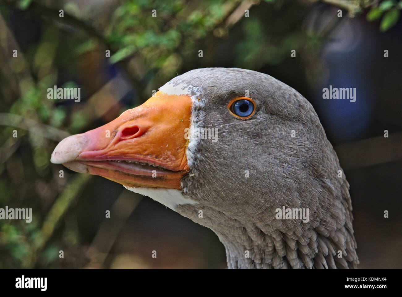 Portrait of a goose with striking blue eyes - Stock Image