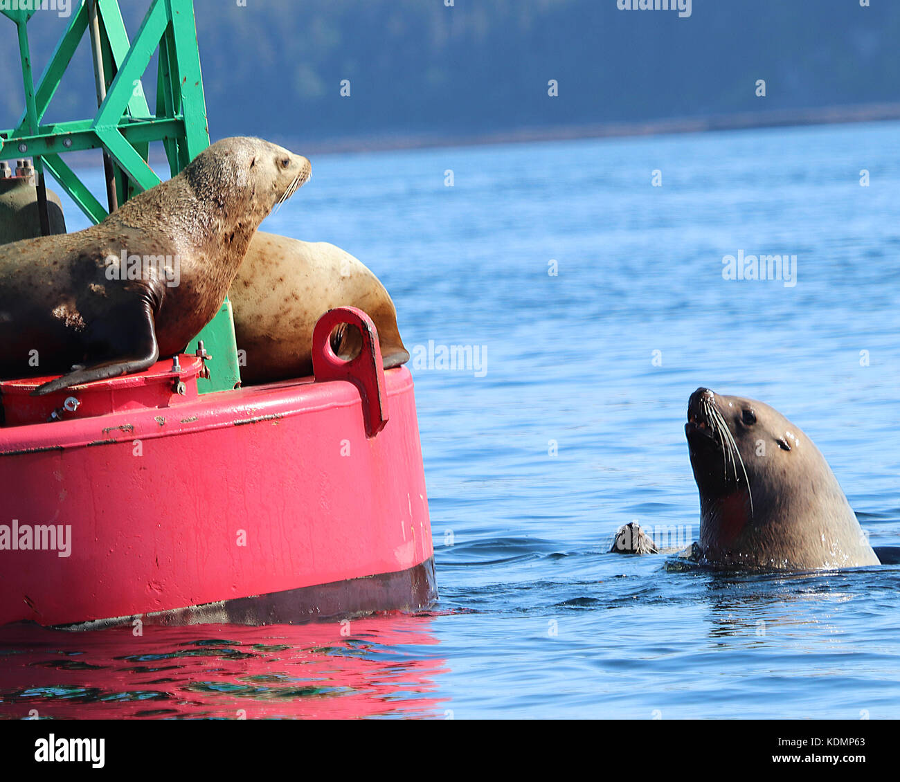 Adorable Sea Lion wanting to get up onto a buoy that is already full of resting Sea Lions - Stock Image
